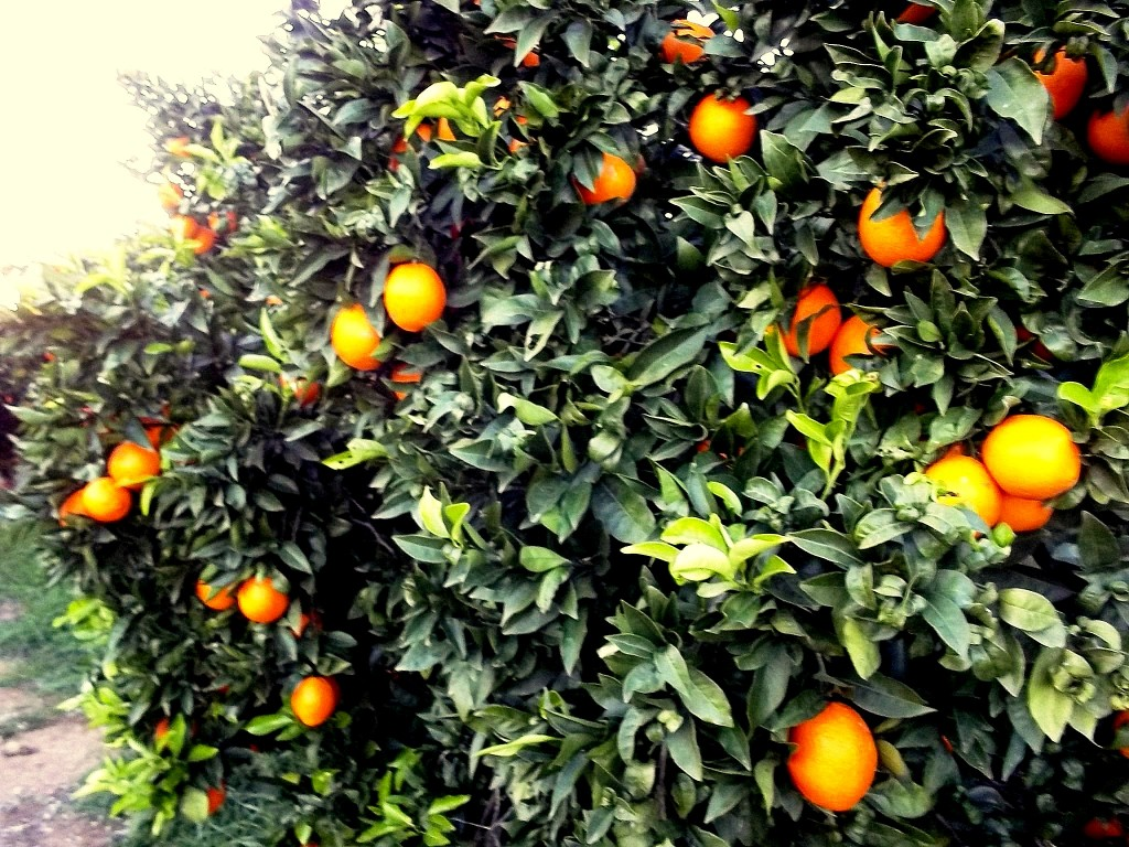 Campos de naranjos